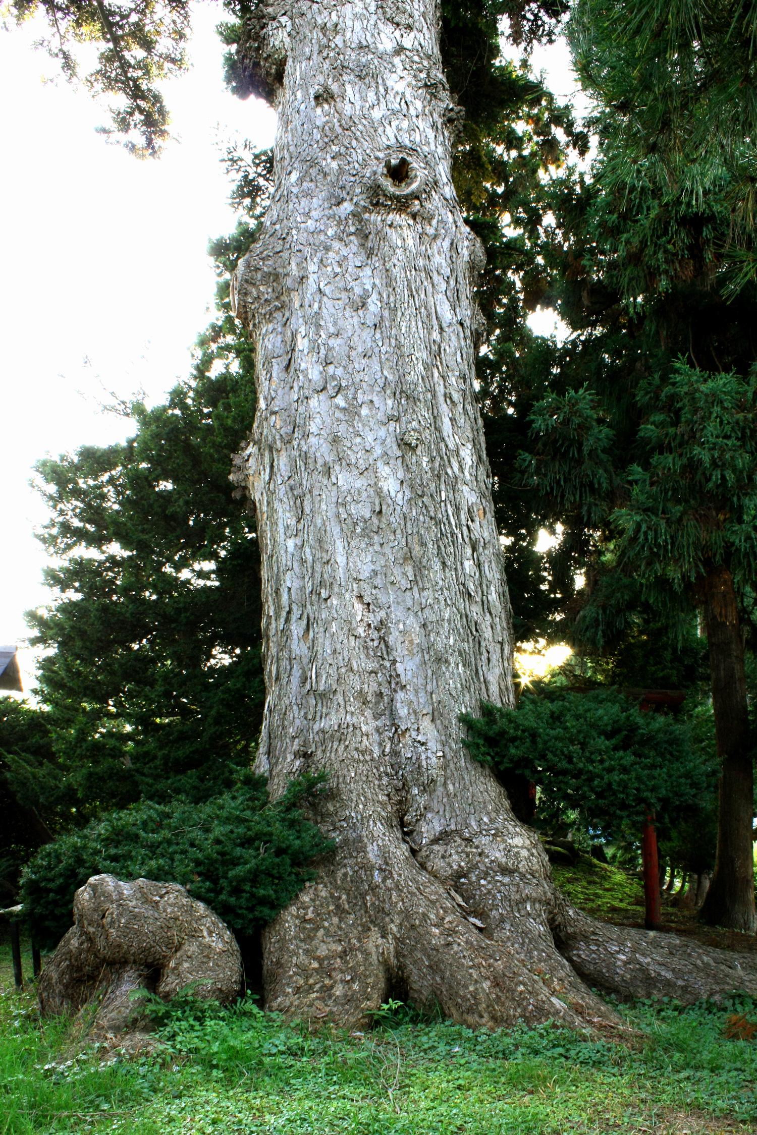 Todoroppo是眼平处树干为6米的日本冷杉