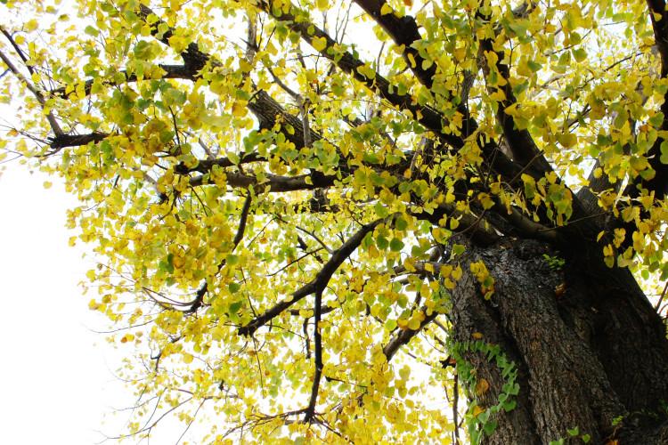 大性神明宫的银杏树 (巨木)