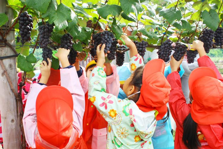 "观光葡萄园"" fruits"