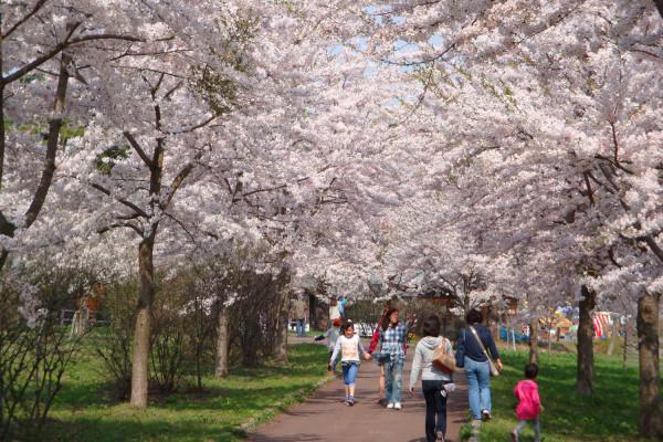 津轻富士见湖樱花节