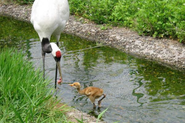 2012年在丹顶鹤自然公园诞生的雏鸟